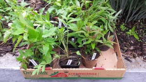 A cardboard flat of potted plants with plastic identification sticks.