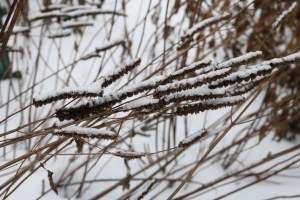 Brown hyssop seedheads bent nearly parallel, covered with snow.