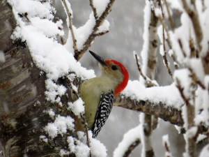 photo of red belly woodpecker