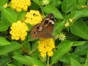 Ashley took this photo of a buckeye butterfly in 2009.
