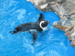 Penguin at the Gulfarium in Florida. (Photo by Ashley Jones 2012)