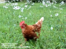Chicken2_info