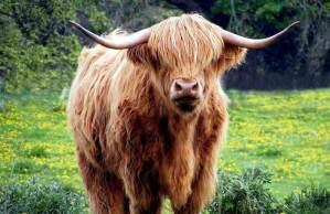 Highland cows 3 day road trip Scotland