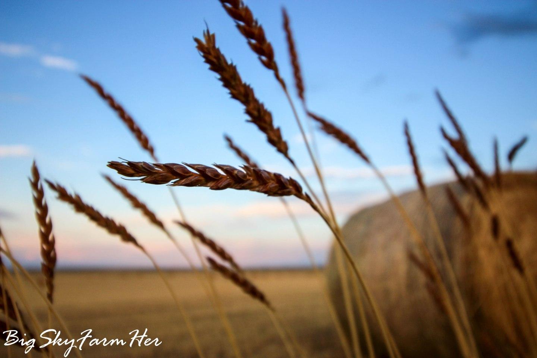 Pea Harvest-5209