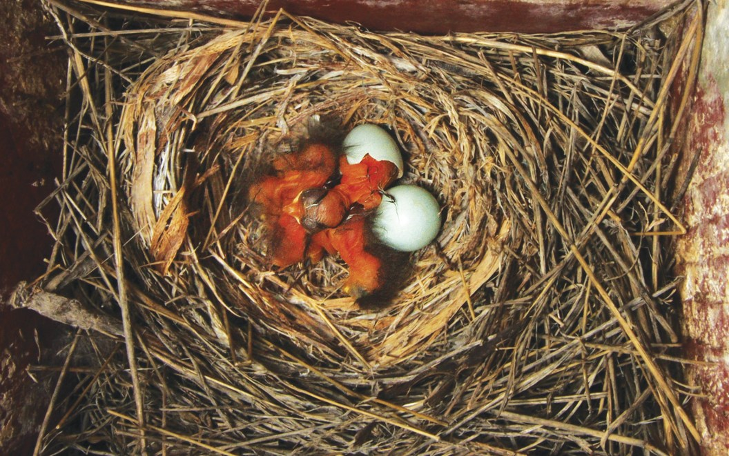Hatching of young takes about 13 to 15 days.