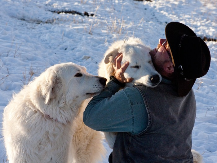 Richard Harjes is greeted by two of his Maremma sheep dogs at feeding time, just before sunset. The dogs are fierce guardians, but affectionate to people they know.