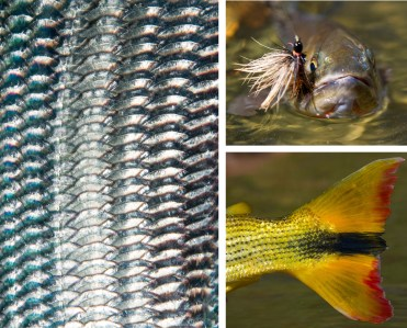 Clockwise from left: Bonefish scales, Los Roques, Venezuela | A Yellowstone Cutthroat, Yellowstone National Park | Golden Dorado Tail, Juramento River, Northern Argentina