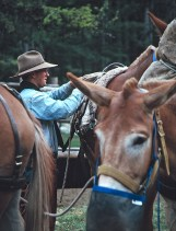 Preparing for the ride, a wrangler saddles the mules.