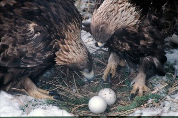 Careful now. The male Golden Eagle lifts gently from the eggs 28 to 29 days into incubation for 42 to 45 days (late March through early May) nesting pairs of Golden Eagles will endure the harshest of weather extremes. Females will perform the majority of the confining task with relief from her lifetime mate seven to nine times a day. She will incubate all night.