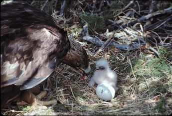 First feedings. A very, gentle act. The giant birds will present sizeable morsels to the hatchling who will fall on its beak or forward, patiently the nourishment is presented until the chick grasps and swallows.