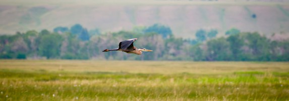The University of Montana's Avian Science Center monitors the restoration area and has tallied more than 90 bird species, up from only four prior to the restoration, including 16 new waterfowl species.