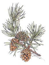 Pine-branch_web.jpg