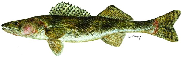The Wyoming Game and Fish Department is now accepting artwork of sauger, a Wyoming game fish, for the 2015 Wyoming Conservation Stamp Art Contest.
