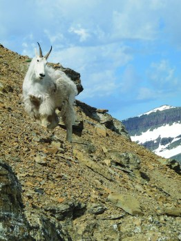 A mountain goat beginning the annual molt of its winter coat in Glacier National Park. This hormonally-controlled process is not completed until late summer, just in time to grow a new winter coat. Photo by Bruce Smith