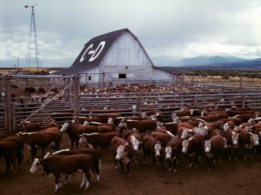 Cattle in corrals, Beaverhead County. Photographer: Russell Lee, September 1942. Courtesy Library of Congress, Prints & Photographs Division