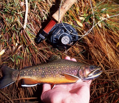 While cutthroats are native to many island ranges, brook (pictured), brown, and rainbow trout are common today.