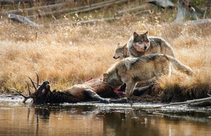Wolves on an elk kill in Yellowstone National Park where Eisenberg also teaches for the Yellowstone Association. Photo by Karl Krieger
