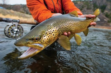 A Mighty Mo fighter, the big brown. Photo by Brian Grossenbacher