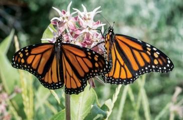 Monarch butterfly (Danaus plexippus) on showy milkweed (Asclepias speciosa) in Salmon, Idaho.