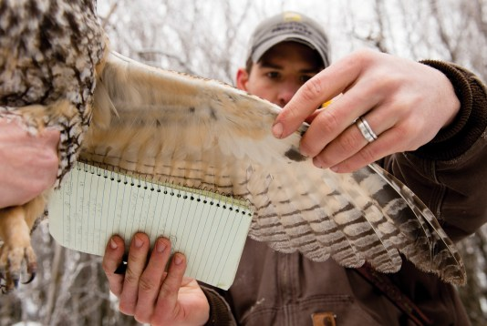 After checking for a bird band on the owl's leg, Matt Larson measures the length of the owl's wings.