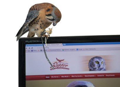 Watson, an adult male American Kestrel, eats a cricket atop a computer monitor open to the center's webpage. Watson became an educational bird after imprinting on humans early in his life.