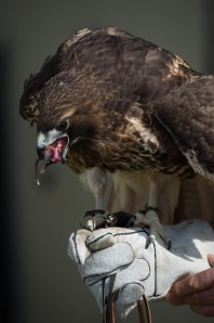 Sammy, an adult female Red-tailed Hawk, is one of the center's educational birds. She was blown out of her nest as a nestling , orphaned and suffered a serious injury to her right eye.