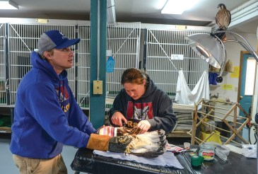 Spyke keeps a rough-legged hawk steady as Kean applies sutures to a wing injury at the Center's operating table as Neka, an American Kestrel, looks on from its perch on the lamp.