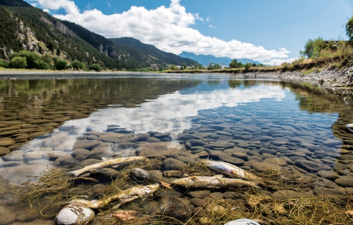 """In August of 2016, Montana Fish, Wildlife & Parks closed 183 miles of the Yellowstone River to all recreation due to a fish die off. The mortality was mostly seen in the native whitefish populations, and was caused by a proliferative kidney disease, triggered by a """"myxozoan"""" parasite. Low river flows and high water temperatures contributed to the die off. Photo by William Campbell"""