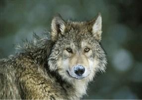 wolf-snow-on-nose_web.jpg