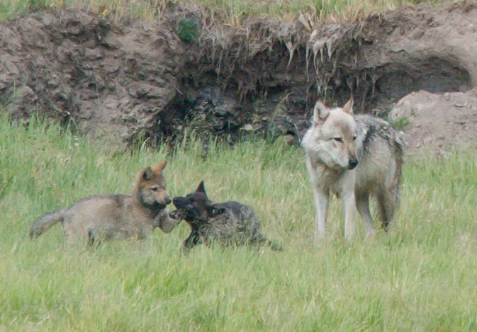 The alpha male of the Hayden pack with two of his pups. Photo by Cindy Goeddel