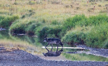 Heading home to the missus, the alpha male of the Lamar Canyon pack crosses Soda Butte Creek. Photo by Cindy Goeddel