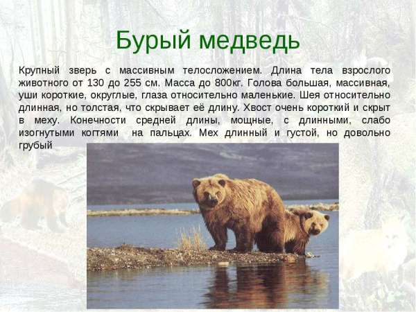презентация на тему бурые медведи скачать бесплатно - Софт ...