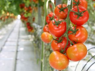 hothouse tomatoes