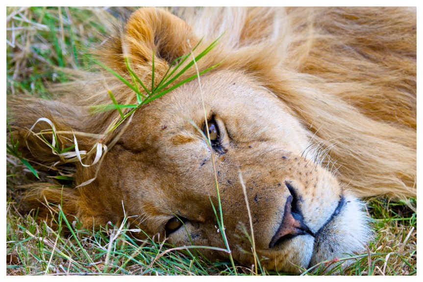 Something Different – The Lions of Africa