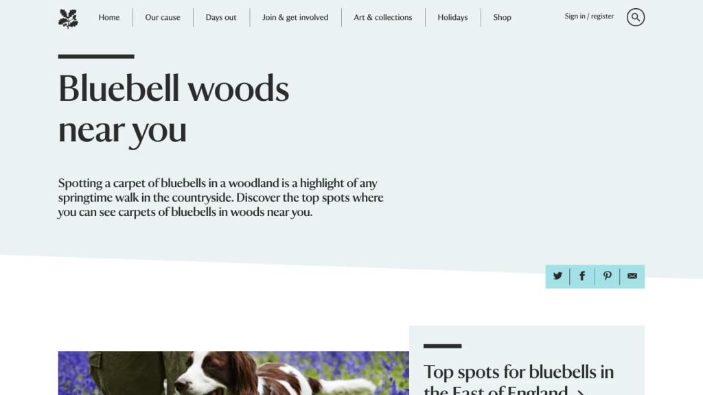 National Trust bluebells