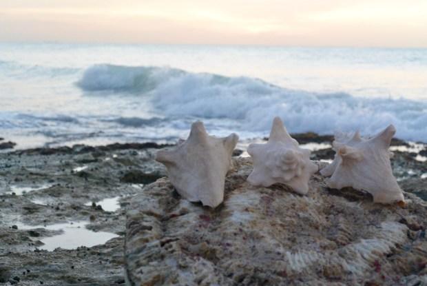 Conch shells in Aruba