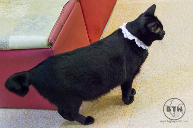 A cat with a crinkled tail at a cat cafe in Tokyo, Japan
