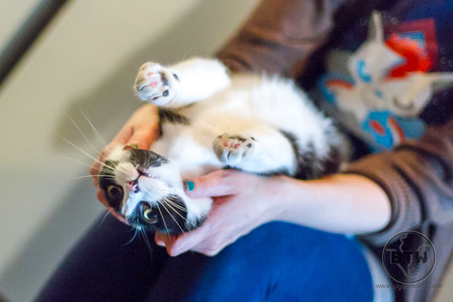 Someone holding a tux cat upside down in her lap at a cat cafe in Portland, Oregon