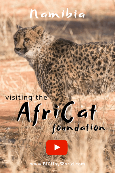 Visiting the AfriCat Foundation (Video) | BIG tiny World Travel | We learned about the conservation efforts for Cheethas and other big cats by Africat and we gladly support them. Check out our latest video| #travel #africatravel #okonjima #bigcats #Africat #shadeadventures