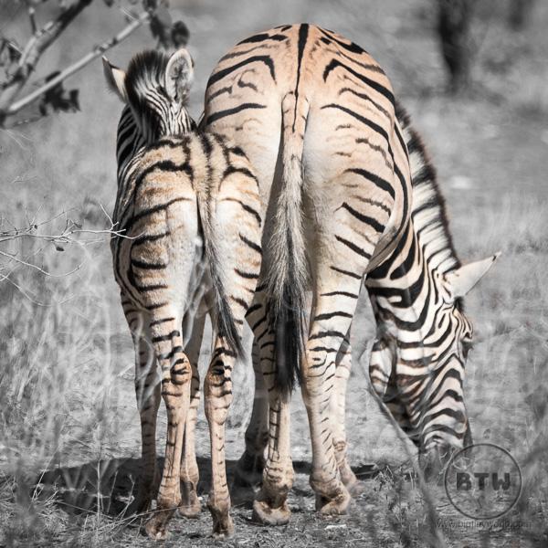 zebra-3