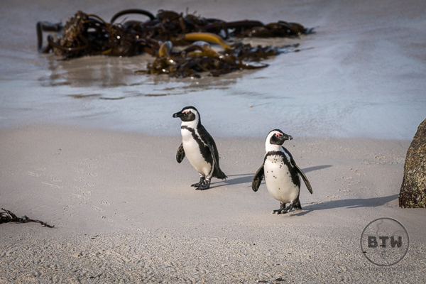 Couple of South African Penguins holding hands