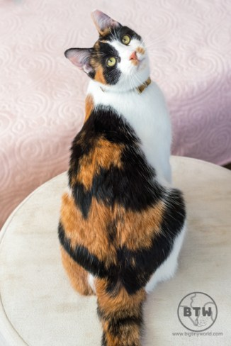 Kedi, a calico cat we catsat in Istanbul, looking back over her shoulder