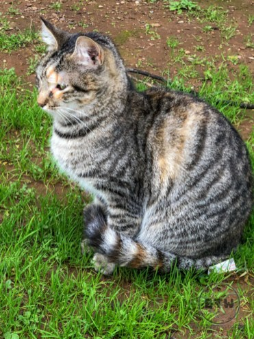 A tabby cat in Kotor, Montenegro