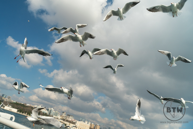 Seagulls flying over the Bosphorus in Istanbul, Turkey