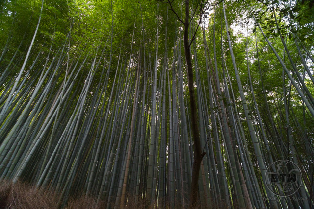 Hundreds of parallel bamboo stalks at the Arashiyama Bamboo Forest in Kyoto, Japan