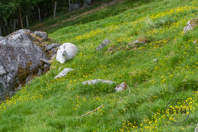 A llama resting in the grass next to the Losta Trail in Norway | BIG tiny World Travel