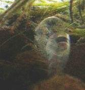 ミナミヌマエビの抜け殻