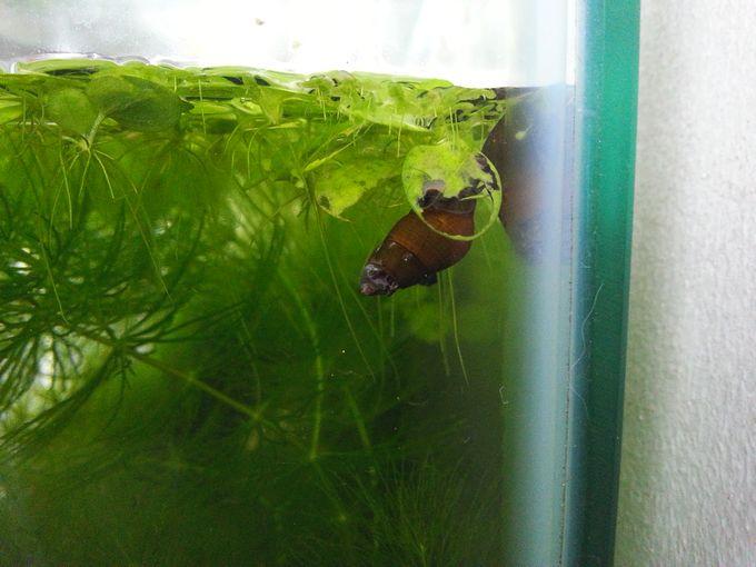 カワニナが水草(アマゾンフロッグピット)を食べている写真