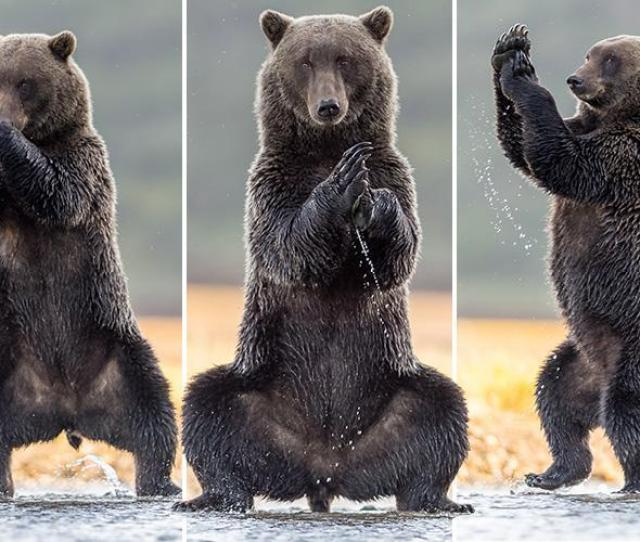 Giant Grizzly Bear Stands Out As It Practises Some Yoga Positions In Alaska Big World Tale