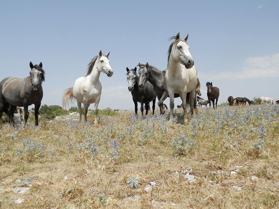 Дикие кони на Биле. Автор фото Marijo Bošnjak